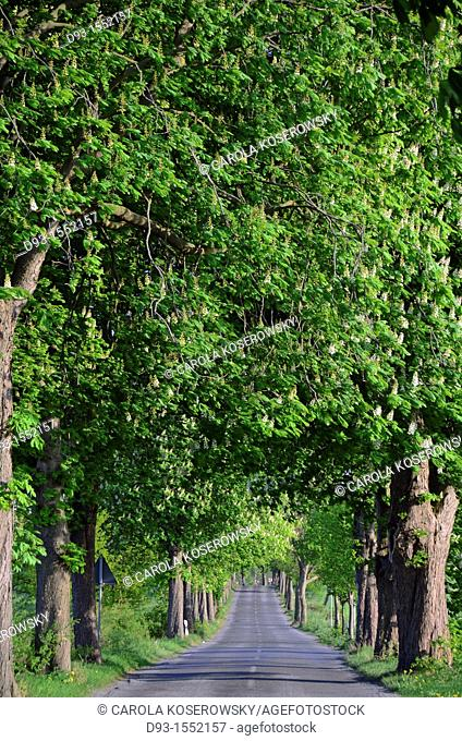 beautiful chestnut alley in Mecklenburg-Western Pomerania