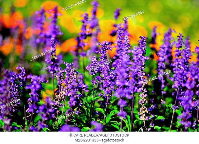 A soft-focus depiction of purple salvia and orange marigolds, Pennsylvania, USA