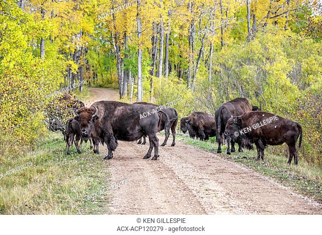 Herd of Plains Bison, standing on road in autumn colors, Riding Mountain National Park, Manitoba, Canada
