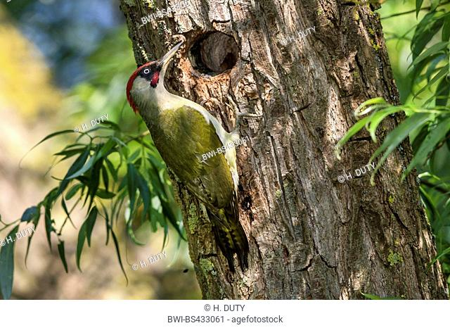 green woodpecker (Picus viridis), male at its breeding cave in a willow, Germany, Mecklenburg-Western Pomerania