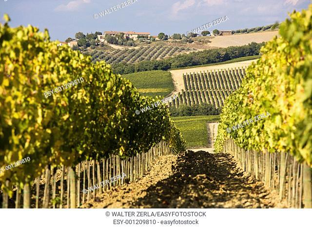 Beautiful vineyard in Italy at sunset
