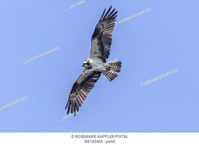 An Osprey in flight over Forellenhof Trauntal