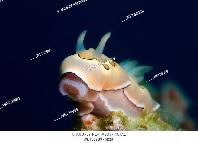 Portrait nudibranch or sea slug Co's Goniobranchus (Chromodoris coi) South China Sea, Redang, Malaysia, Asia