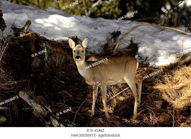 Deer, Capreolus capreolus, Cervidae, doe, winter coat, alpine forest, Sufers, Hinterrhein, Alps, Canton of Graubünden, Switzerland