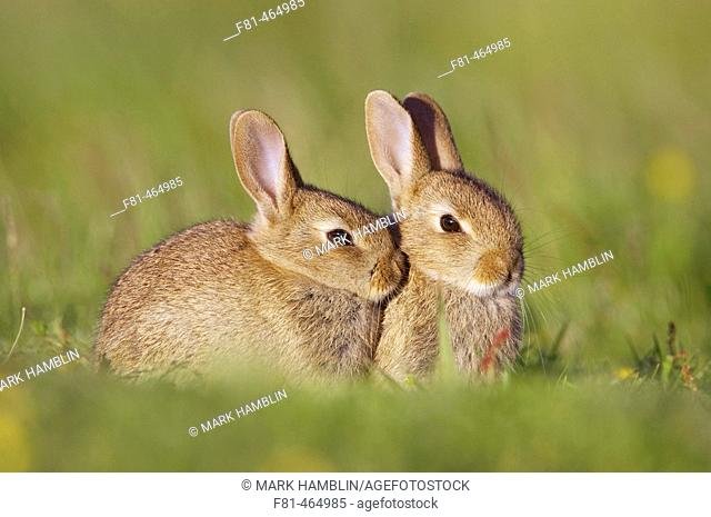 Rabbit (Oryctolagus cuniculus), two youngsters outside burrow entrance in late evening sun. Scotland. July 2005