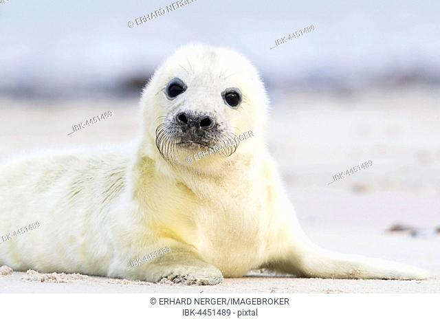 Newborn gray seal (Halichoerus grypus) lying on the beach, Heligoland, Schleswig-Holstein, Germany