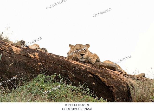 Two lioness (Panthera leo) resting on a Kopje known as Lion Rock in Lualenyi reserve, Tsavo, Kenya
