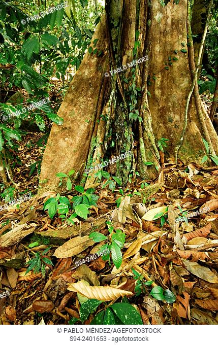 View of the jungle of Kubah national park, Sarawak, Malaysia, Borneo