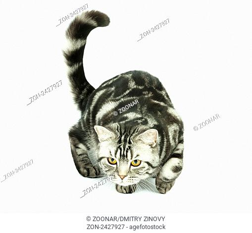 Silver tabby british cat hunting isolated in the white background