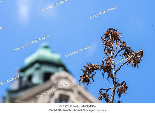 FILED - 15 July 2019, Hessen, Wiesbaden: The branch of a drying tree stands in front of the facade of an old building in the spa town