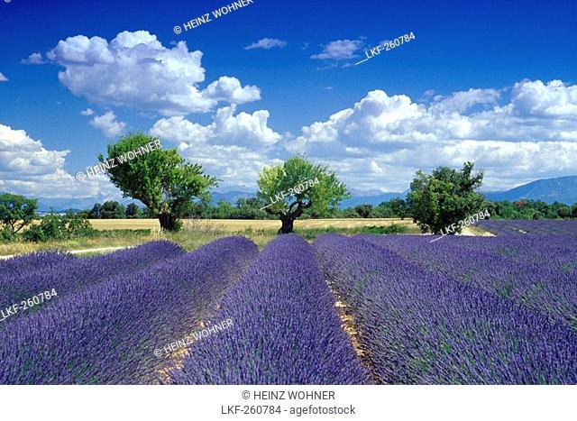 Almond trees in lavender field under clouded sky, Plateau de Valensole, Alpes de Haute Provence, Provence, France, Europe