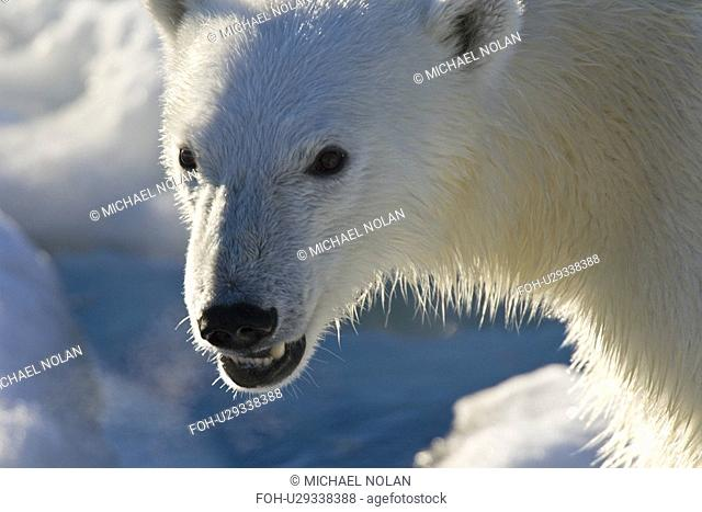 Curious young female polar bear Ursus maritimus on multi-year ice floes in the Barents Sea off the eastern coast of EdgeÏya Edge Island in the Svalbard...