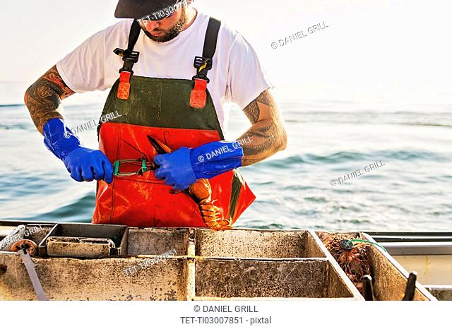 Fisherman putting rubber band on lobster