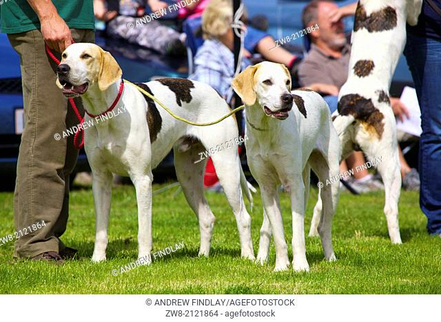 Fox Hounds being shown by theyr owners at Threlkeld Show, Threlkeld, Keswick, Lake District, Cumbria, England, UK