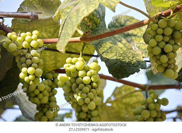 Bunches of green grapes on the background of blue sky