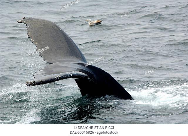 Zoology - Cetacean - Whale - Humpback Whale (Megaptera novaeangliae). Dive humpback whale. United States of America - Massachusetts - Cape Cod Whale Sanctuary