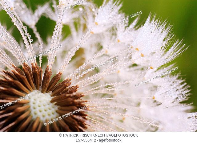 Dandylion, Taraxacum officiale