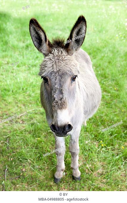 Donkey on the pasture