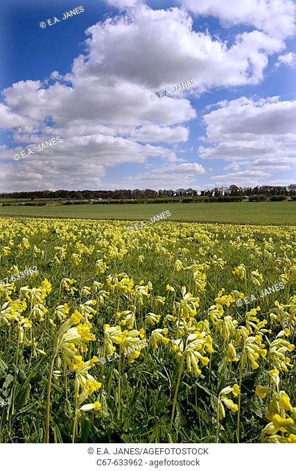 Cowslips (Primula veris) on Norfolk. UK