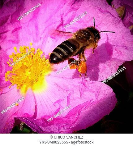 A honey bee carrying pollen in it legs flies over a pink flower in El Bosque, Sierra de Grazalema, Andalusia, Spain