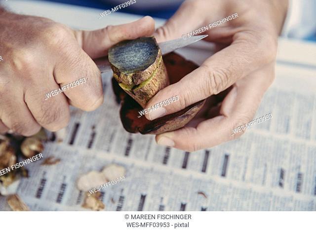 Man's hand cutting scarletina bolete