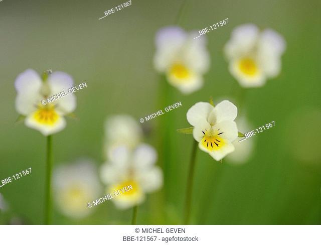 Flowering Field Pansy