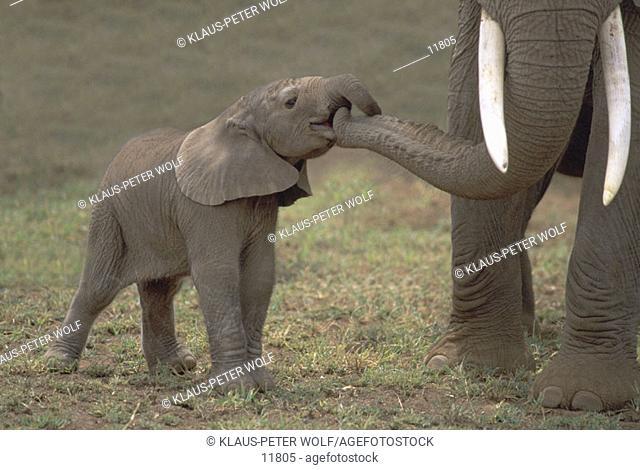 Baby Elephant (Loxodonta africana). Amboseli National Park. Kenya