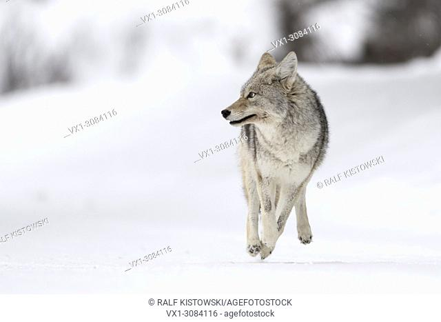 Coyote ( Canis latrans ) on the run, running, in winter, high snow, fleeing, looks scared, frightened, frontal shot, funny, Yellowstone NP, USA