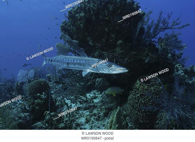 Great Barracuda Sphyraena barracuda, single barracuda swimming past coral reef, Cayman Islands, Caribbean