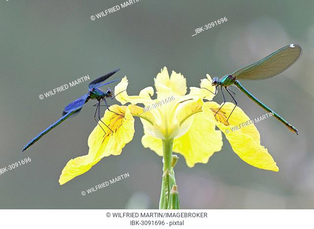Banded Demoiselles (Calopteryx splendens), male and female on an iris, North Hesse, Hesse, Germany