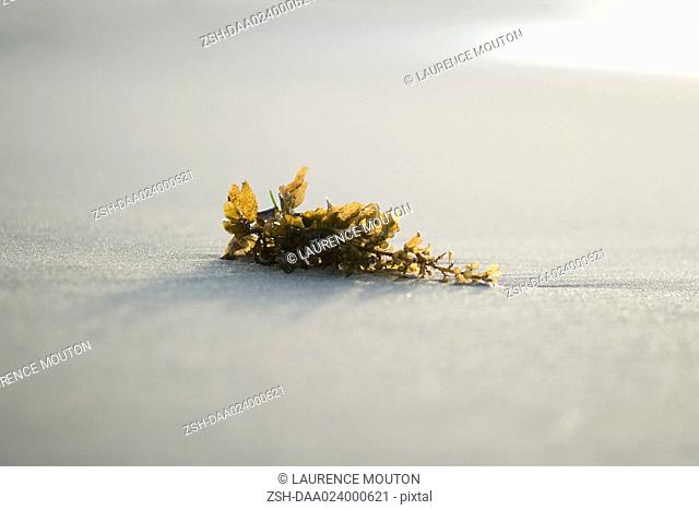 Piece of seaweed on sand, close-up