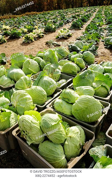 Freshly harvested cabbage awaits trasnport to distribution center