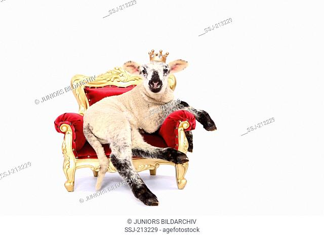 Domestic sheep. Lamb lying on a throne, wearing a crown. Studio picture against a white background. Germany