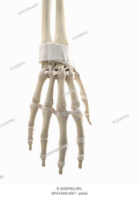 Human hand tendons, computer artwork