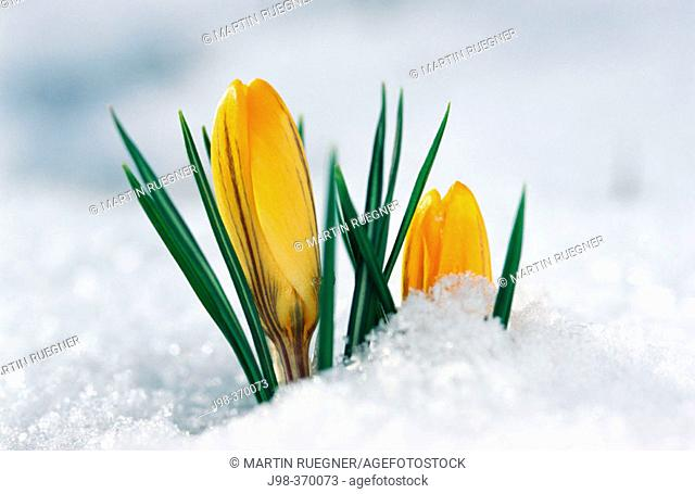Crocus in snow
