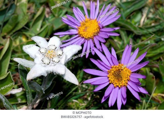 edelweiss (Leontopodium alpinum), boreal aster, alpine aster, Austria