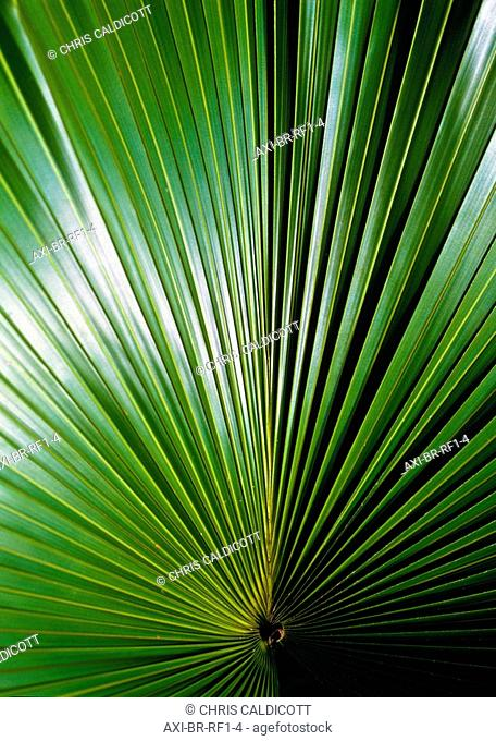 Detail of a palm leaf in the Amazon Rainforest