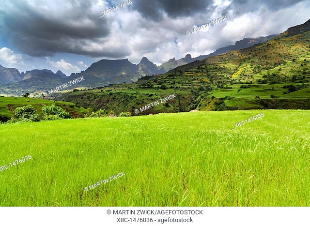 Field with Tef te ef, teff - local grain used to make a flatbread called injera near the escarpment of the Simien Mountains close to the Simien Mts  National...