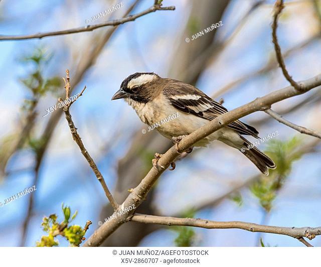 White-browed sparrow weaver (Plocepasser mahali). Windhoek. Namibia