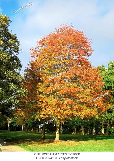 Tree in autumn colours in Brittany, France