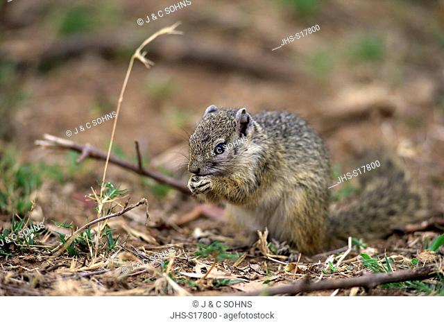 Tree Squirrel, Smith's bush squirrel, yellow-footed squirrel, (Paraxerus cepapi), adult feeding, Kruger Nationalpark, South Africa, Africa