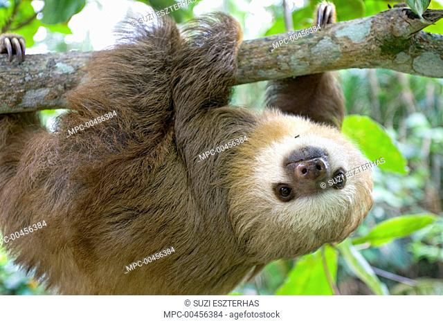 Hoffmann's Two-toed Sloth (Choloepus hoffmanni) six month old orphan in tree, Aviarios Sloth Sanctuary, Costa Rica