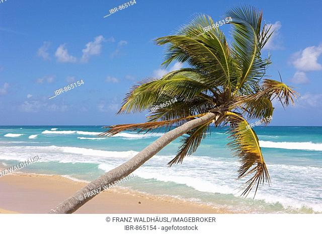 Coconut palms at the beach, Dominican Republic, Caribbean