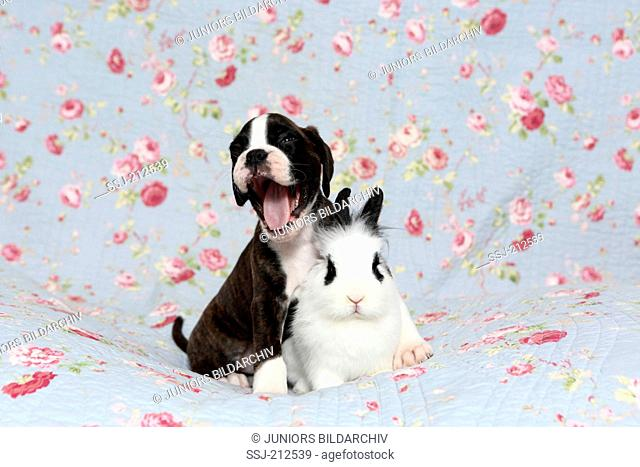 German Boxer. Yawning puppy (6 weeks old) with Lionhead Rabbit on a blue blanket with rose flowers print. Germany