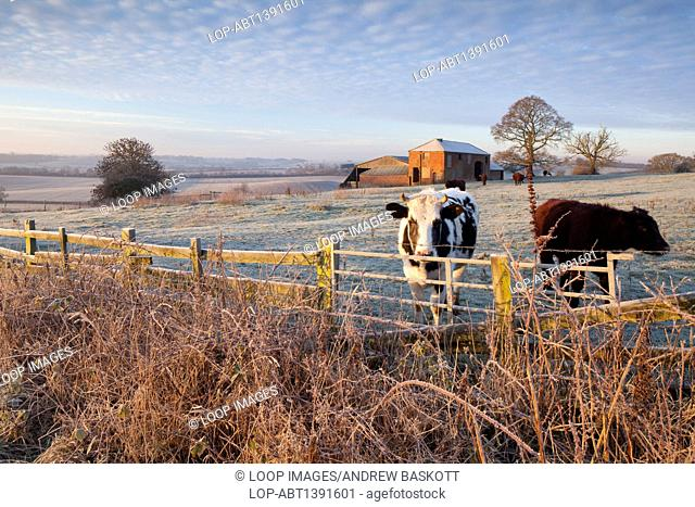 Cattle and an old derelict farmhouse in a frosted Northamptonshire landscape
