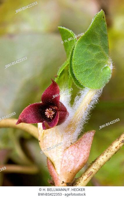Asarabacca (Asarum europaeum), flower, Germany