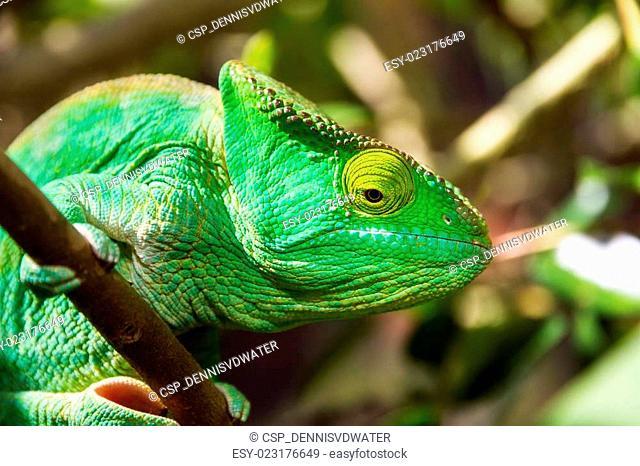 Green chameleon close up
