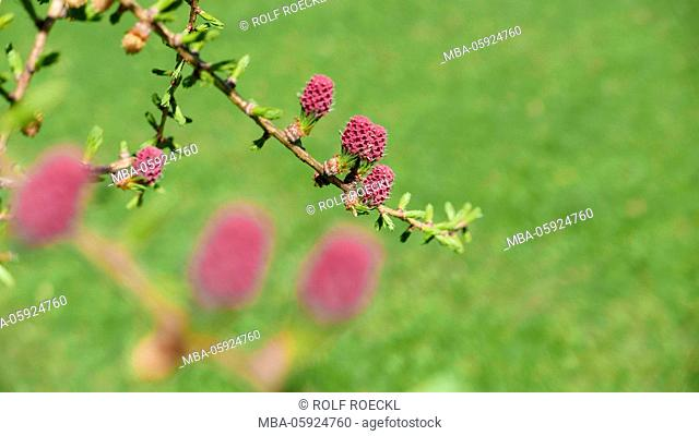 Larch in period of bloom, branch with female (red) and a male plug, Upper Bavaria