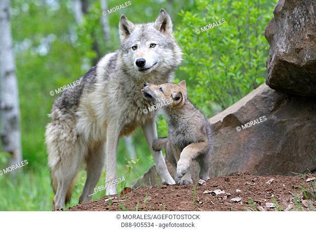 Wolf (Canis lupus). Minnesota, USA