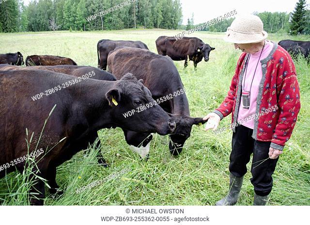 woman feeding cows Sastamala Finland